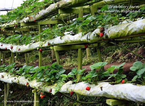 Strawberry farm6