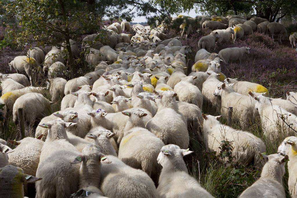 stroomopwaarts (hoogmoet) Tags  den ymca heide schapen treek herder  landgoed kudde treekhenschoten treekerpunt c1e0a9dff5804