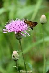 wish you all a wonderful weekend (photoholic image) Tags: plant flower nature canon butterfly thistle skipper skipperbutterfly thisledown eos7d canoneos7d efs18200mmf3556is