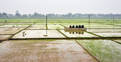 109_LAO85970020 (TC Yuen) Tags: vietnam sapa hmong terracefarming locai
