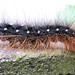 Caterpillar - hairy
