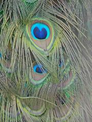 Peacock eyes at the fruit farm