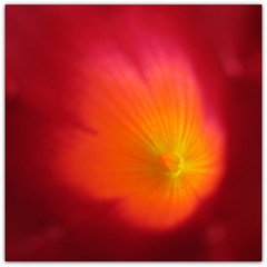 Macro Art (Habub3) Tags: travel red holiday plant abstract flower macro rot art nature colors beautiful lines backlight canon germany garden deutschland flora europa europe stuttgart kunst urlaub natur pflanze powershot blume makro mandevilla blte garten vacanze reise farben gegenlicht g12 linien 2011 viewonblack sundaville habub3 mygearandme