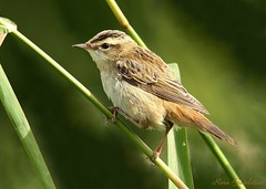Felosa-dos-juncos | Sedge Warbler (Acrocephalus schoenobaenus) (Rosa Gamboias/ on vacation) Tags: wild naturaleza verde green bird portugal nature birds animals fauna wildlife natureza birding avesemportugal pssaro natura aves uccelli pjaros ave animaux animais ornithology birdwatching pssaros oiseau vogel oiseaux avifauna passeriformes vidaselvagem passerines ornitologia pontadaerva reservanaturaldoesturiodotejo rosagambias