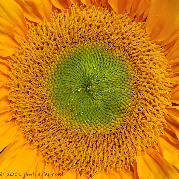 Yet Another Sunflower