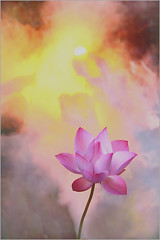 Lotus Flower - IMG_5306-1000 (Bahman Farzad) Tags: pink flower macro yoga peace lotus relaxing peaceful meditation therapy lotusflower lotuspetal lotuspetals lotusflowerpetals lotusflowerpetal
