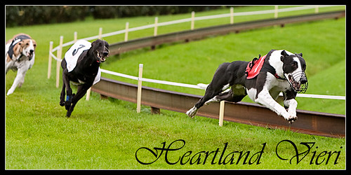 Greyhound Heartland Vieri was euthanized after FCI Greyhound European Championship Final in Beringen, Belgium