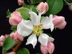 M.7 EMLA Blossom
