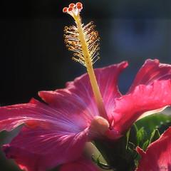 Sunbather (StarlightHope) Tags: hibiscusrosasinensis hibiskus hibiscus chinesehibiscus chinarose macro flower blomma a3b allys achallengeforyousweep achallengeforyou
