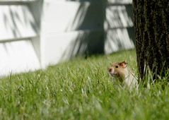 Makin' a break for it (stirlingbj) Tags: pet tree grass fence outdoors rodent small hamster