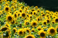 Sunbathing (snowyturner) Tags: flowers sun flower beautiful field yellow contrast landscape plymouth sunny sunflowers sunflower sunbathing sunflowerfield