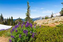 Blue Pod Lupine on shoulder of Plummer Peak  Mt Rainier National Park-1235 (emikek) Tags: wildflowers mtrainier lupine mtrainiernationalpark plummerpeak