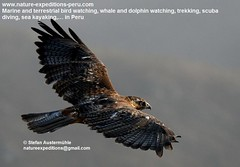 Variable hawk Birding Peru (2) (Nature Expeditions 06) Tags: trip vacation bird peru nature birds holidays tour lima hawk birding stefan andes trips prey guide birdsofprey lomas variable peruvian buteo expeditions accipitridae redbacked redbackedhawk buteopolyosoma birdguide lachay lomasdelachay polyosoma variablehawk natureexpeditions birdinginperu austermhle birdingperu birdinginlima