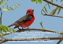 Vermillion flycatcher Birding Peru (4) (Nature Expeditions 06) Tags: trip vacation urban bird peru nature birds holidays tour lima birding stefan andes trips guide vermilion peruvian vermilionflycatcher flycatcher sanisidro pyrocephalusrubinus expeditions tyrannidae pyrocephalus rubinus elolivar birdguide lomasdelachay pantanosdevilla natureexpeditions birdinginperu austermhle birdingperu birdinginlima flycatchersofperu