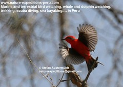 Vermillion flycatcher Birding Peru (9) (Nature Expeditions 06) Tags: trip vacation urban bird peru nature birds holidays tour lima birding stefan andes trips guide vermilion peruvian vermilionflycatcher flycatcher sanisidro pyrocephalusrubinus expeditions tyrannidae pyrocephalus rubinus elolivar birdguide lomasdelachay pantanosdevilla natureexpeditions birdinginperu austermhle birdingperu birdinginlima flycatchersofperu