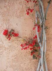 Crete Colours - Red and Gray on Pale Rose (Pushapoze (MASA)) Tags: greece crete bougainvilla archanes explore10032011150