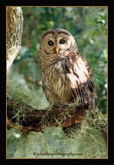 Barred Owl...Ghost of the oak hammock (John Elias Photography) Tags: wild dinner island flying intense oak ghost free hammock owl raptors wma barred johneliasphotography