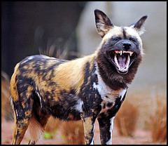 Painted Dog showing teeth (Steve Wilson - classic view please) Tags: africa uk greatbritain wild england dog nature animal gardens garden mammal zoo nikon wolf cheshire britain african painted wildlife great hunting conservation canine chester cape spotted savannah endangered d200 ornate predator captive critical rare captivity carnivore upton chesterzoo wilddog lycaon lycaonpictus zoological canid pictus zoologicalgarden zoologicalgardens painteddog capehuntingdog nikond200 critically caughall ornatewolf