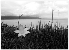 Florzinha solitria (se.shira) Tags: mar pb capim litoral florzinha solitaria