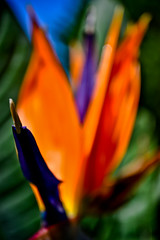 L'esotico (ThePerspectiveShooter) Tags: verde foglie bokeh blu cielo punta fiore viola rosso petali arancione pianta cresta spina sfocato esotico nitidezza