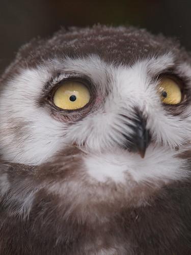 多摩動物公園 シロフクロウ