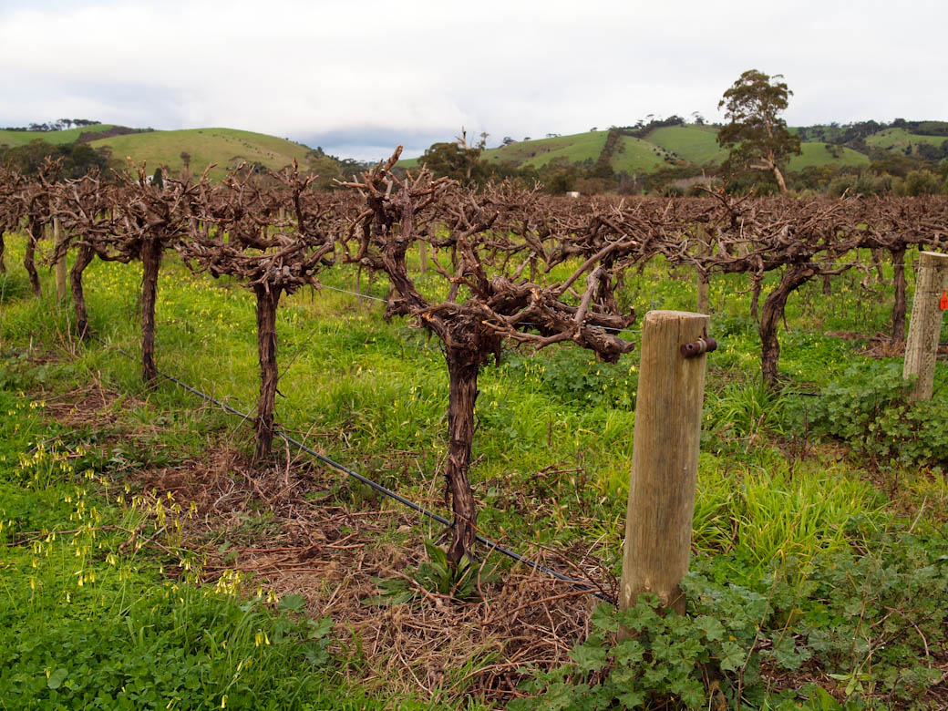 Vines at Hugo Wines, McLaren Vale