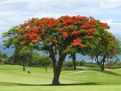 Maui Chiaki 782