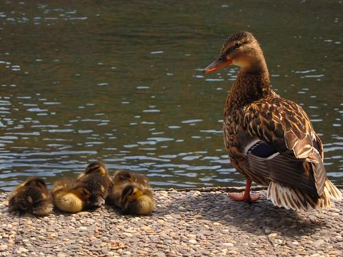 Strasbourg Ducks