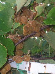 102_3220 (NavyMoon) Tags: nature fruit kiwi