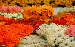 Colorful Cosmos ! (raghavvidya) Tags: flowers india project colorful bangalore 365 cosmos lalbagh 2011 raghavvidya