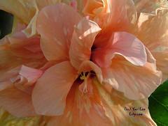 Rosa Sinensis 3 (Lihycom) Tags: 朱槿 rosasinensis ブッソウゲ మందార hibiscusrosedechine lihycom yaellew lewyael lihyarts