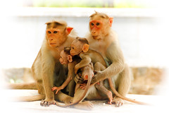 We are family - 2 (Natesh Ramasamy) Tags: family wild portrait pet india cute slr love animal canon children photography zoo monkey photo kid asia child affection father young mother picture pic ancestor tami canoneos tamilnadu nadu southasia tiruvannamalai thiruvannamalai natesh ramasamy canoneosslr lifeisart 550d t2i canon550d canont2i canonkissx4 best4gpin bestphoto4gpinsep2011 ramnaganat