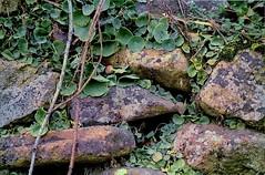 Nanophyes durieui. Agalla (chemazgz) Tags: españa insectos fauna spain europa animales animalia arthropoda coleoptera aragón insecta escarabajos agalla coleopteros artropodos agallas taxonomy:kingdom=animalia geo:country=spain cecidias taxonomy:binomial=umbilicusrupestris geo:region=europe nanophyidae taxonomy:family=nanophyidae taxonomy:binomial=nanophyesdurieui naturalezasistemaiberico