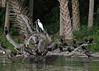 Double-crested Cormorant Phalacrocorax auritus  Great White Heron Ardea herodias  Seahorse ...