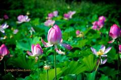 Lotus pond (James Kemlo (Junpei Hayakawa)) Tags: pink japan pond lotus blossoms kanagawa blooming nelumbonucifera jameskemlo junpeihayakawa