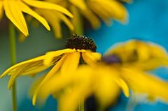 (Damien Cox) Tags: uk flower macro closeup nikon damiencox dcoxphotographycom