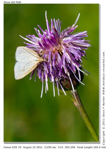 Straw Dot Moth Primrose Hill Birkacre Yarrow Valley Chorley Lancashire