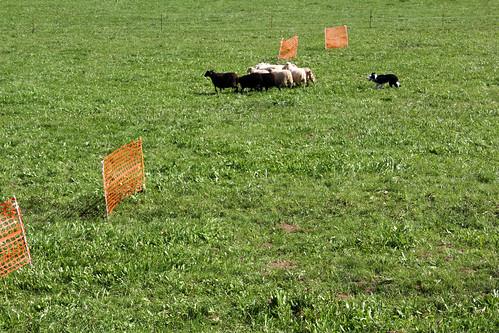 beef11_sheepdog