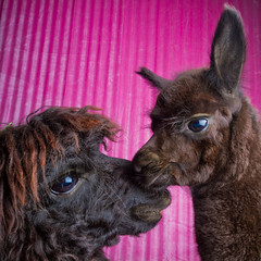 Alpacas in the studio (Tc Morgan) Tags: saved pink baby cute love alpaca beautiful studio deleted7 deleted9 deleted6 dam deleted3 mommy deleted2 saved2 deleted4 mother indoor deleted10 indoors deleted5 deleted inside deleted8 saved3 bonding alpacas cria elinchrom camelid camelids alpaka huacaya