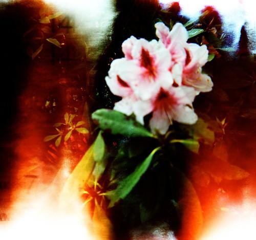 Blurry Laurelhurst Blossoms by liquidnight