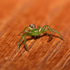 The first time of a plastic spider (sblissa) Tags: macro lensbaby greenspider photostacking