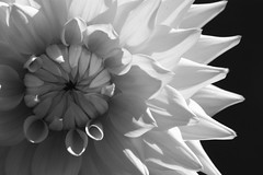 236/365 - obsession (Amber Estrella) Tags: summer bw flower wednesday grey blackwhite shadows wa noon 365 wordy issaquah pickeringfarm