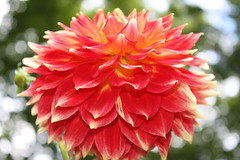 Blazing Dahlia (sylkky2) Tags: dahlia flowers orange nature bokeh top25redorangeyellow