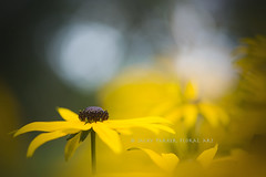 Misty morn (Jacky Parker Floral Art) Tags: uk flowers summer plant flower nature yellow horizontal landscape flora bokeh creative bloom coneflower rudbeckia orientation blackeyedsusan floralessence