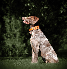 Bailey sees something (The_Little_GSP) Tags: pointer bailey shorthair germanshorthair gsp germanshorthairedpointer littlegspphotography