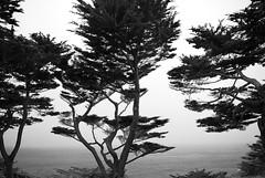 Land's End (sirgious) Tags: sanfrancisco california trees coast trail landsend shore cypress coastaltrail