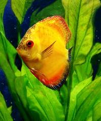 Golden Fish (scilit) Tags: orange fish nature water animal underwater algae seagrass saltwater tropicalfish marinelife naturesfinest physis doublyniceshot doubleniceshot newgoldenseal mygearandme