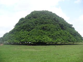 Árbol Guacarí
