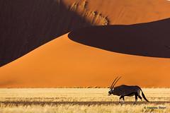 Oryx and the Sossusvlei Dunes (hannes.steyn) Tags: africa nature animals fauna canon sand 2000 desert wildlife dunes explore antelope getty mammals namibia reserves oryx sossusvlei namib namibdesert interestingness170 i500 550d gemsbuck hannessteyn spiritofphotography canonefs18200mmf3556is canon550d eosrebelt2i namibnaukliftpark extraordinarilyimpressive gettyimagesmeandafrica1 explore20110901