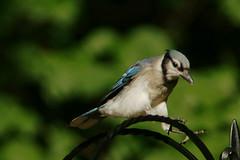 DSC06381 (dmarie13) Tags: haven birds backyard minolta sony north july ct teleconverter 2011 14x 600mm a900